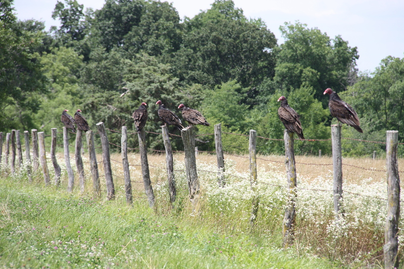Turkey Vulture Line