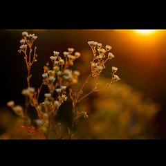 (Marcin Sowa) Tags: lighting flowers light sunset orange sun sunlight flower apple nature beautiful beauty grass lens lights iso200 leaf aperture nikon focus mood shadows dof bokeh colorfull warmth 85mm images pole short flare daisy getty sharpen lovely nikkor f18 krakw beautifull gettyimages dx daises wideopen d300 daise krakoff chimai apertureedited bokehphotography marcinsowa tzf20