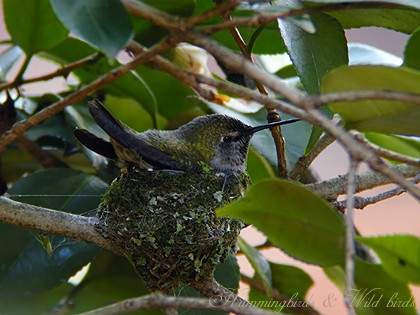 Anna's Hummingbird nest091-10