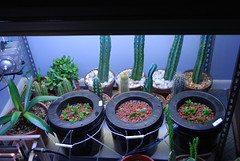 vert (runrun02864) Tags: cactus film water cacti technology deep culture hydroponics nft nutrient pereskiopsis