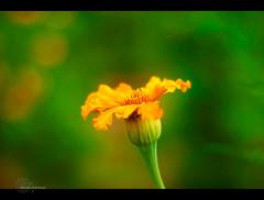.... (.krish.Tipirneni.) Tags: orange india flower green creativity temple 50mm nikon boredom boring ap hyderabad 5star hpc routine lacking hyd telugu andhrapradesh shamshabad d80 whowantsit rktnature banthi puvvu akkannamadanna banthipuvvu