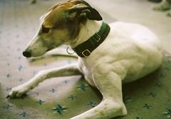 Grey Hound (Minolta HiMatic 7s 009a1) (lurkzilla) Tags: dog greyhound film fog minolta exracer himatic7s friendsofgreyhounds