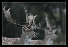Two bucks (JKmedia) Tags: park wild nature still focus nt wildlife deer antlers spots nationaltrust bucks herd fallow adamsapple dyrhampark dyrham southgloucestershire canoneos40d 15challengeswinner jkmedia vosplusbellesphotos greyoldsaturdayafternoon