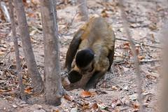 Digging with stone (Tiago Faltico) Tags: brazil nature animal fauna monkey primate piaui capuchinmonkey capuchin mamiferos cebus macacoprego primata primatas cavar serradacapivara cebusapella tooluse grupopedrafurada piaui usodevaretas cebuslibidinosus usodeferramentas taxonomy:binomial=sapajuslibidinosus taxonomy:genus=sapajus