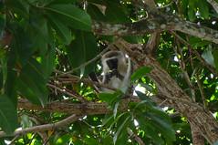 Monkey Munchies (Darel & Jess) Tags: pemba fundu