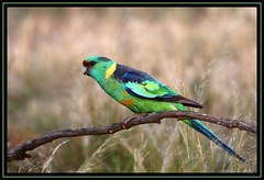 Australian (Mallee) Ringneck, Cocoparra NP, 29.9.09a (Callocephalon Photography) Tags: male green beautiful pose fly bright australia nsw grassland rosella lateafternoon ringneck barnardiuszonarius malleeringneck psittaciformes specanimal cocoparranp sigma50500mmf463 australianringneck canoneos40d vosplusbellesphotos neargriffith centralsouthernnsw