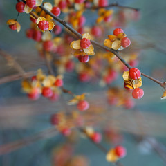 Where are the new views coming from? Anyone? :) Bittersweet treasury (Gordana AM) Tags: park november flowers blue autumn light red orange plant flower fall yellow fruit square golden berry branch berries dof native sweet bokeh michigan cyan seed vine hike seeds bark end shallow melancholy husk plenty abundance bitter bittersweet stoneycreek lepiafgeo