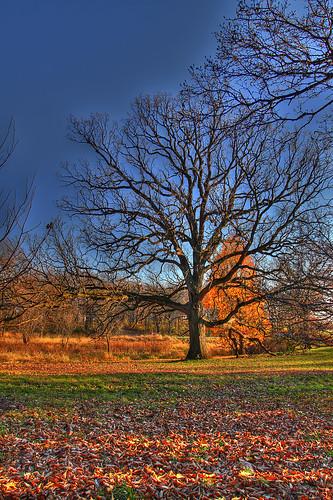 Bur Oak at Morton Arboretum