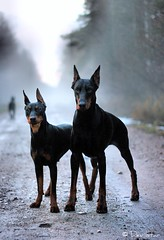 Grey ghost Mia (Devilstar) Tags: dog black german docked pinscher deutscher pincher saksa  worldwinner pinter cropped timspiriteyesofthetiger