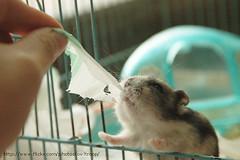 Tea Tea (EricFlickr) Tags: pet cute animal animals rodent hamster hammie