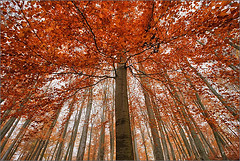trees in fall II (Sandra Bartocha) Tags: autumn trees red mist rot fall fog forest nebel fallcolor cathedral herbst wald bume beeches verticals europeanbeech buchen herbstfarben csandrabartocha wwwbartochaphotographycom