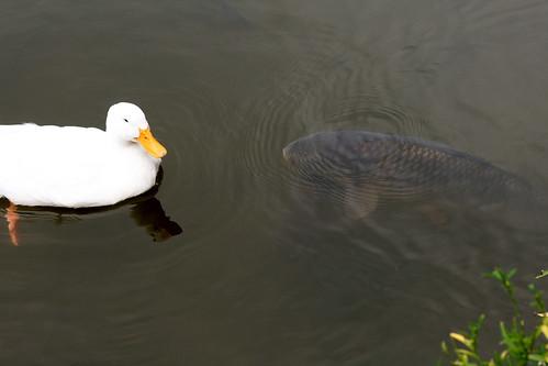 Beware Duck, Carp are HUGE