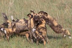 Puppy Action (Wild Do