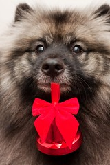 Day 353 - 6 days to Christmas! (TerraNik) Tags: christmas dog mouth project bell decoration 365 hold keeshond