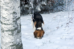 The Hunting (pietroizzo) Tags: trees dog white snow beagle hunt