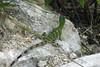 Emerald Lizard at Uxmal