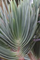 Matthei Botanical Garden (beckstei) Tags: park cactus macro nature annarbor utata botanicalgarden matthei