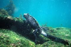 Marine Iguana (Amblyrhynchus cristatus), Galáp...
