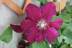 Clematis Westerplatte (clematis69) Tags: clematis
