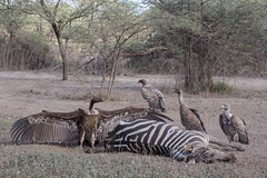 Drought, Death and Dust (Ring a Ding Ding) Tags: 2017 africa gypsrueppelli ndutu ruppellsgriffon serengeti tanzania action carrion dominance drought dust endangeredspecies fighting kill meateater nature safari vulture wildlife wingspan arusharegion