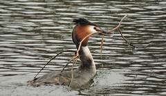 Crested grebe (Deanne Wildsmith) Tags: crestedgrebe grebe stowepool lichfield earthnaturelife bird staffordshire
