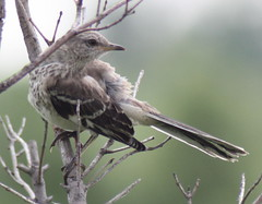Northern Mockingbird (DianesDigitals) Tags: northernmockingbird mimuspolyglottos mockingbirds ohthatsgood dianesdigitals