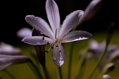she was a beauty in her day (this_woman) Tags: bokeh depthoffield agapanthus