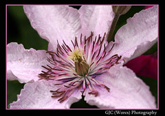 Another Clematis (chetty3) Tags: uk pink nature canon garden clematis stamens lilac sigma105mmf28 eos40d wonderfulworldofflowers theperfectpinkdiamond