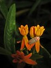 Photinus Firefly on Butterfly Weed... (Sea Moon) Tags: flowers orange beetle milkweed butterflybush coleoptera lightningbug bioluminescence