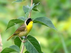 Common Yellowthroat 20090722 (Kenneth Cole Schneider) Tags: birds illinois batavia nelsonlake httpblogrosyfinchcom