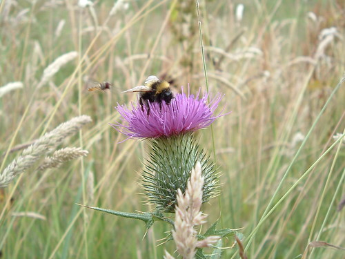 thistle and bee 037