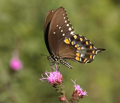 Missing Link (DrPhotoMoto) Tags: butterfly northcarolina asteraceae liatris spicebushswallowtail blazingstar richmondcounty liatrisspicata papiliotroilus aplusphoto