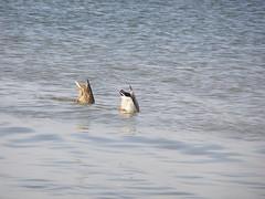 Pywanie synchroniczne (magro_kr) Tags: sea water duck seaside poland polska balticsea baltic gdansk danzig woda gdask kaczka morze batyk baltyk morzebatyckie pomorze pomorskie morzebaltyckie