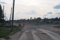 Inside the village of Bulgunnyahtakh (bolotbootur) Tags: village cattle cows russia siberia yakutia thefareast republicofsakha thelenariver bulgunnyahtakh