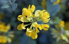 Macro (N.Calzas) Tags: macro flower calzas macromondays geotagged canon argentique pellicule