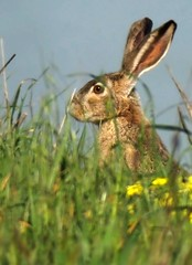 Did I hear a camera click? (wolfpix) Tags: rabbit rodent nikon hare conejo rabbits lapin hace hase kaninchen hasen kani jackrabbit hares hazen kanin lebre królik lièvre lièvres lepri liebre nikond60 зайцы שפן 野兔 kuneho liebres lepuscalifornicus lebres ノウサギ nikonfieldscopeed78 ख़रगोश แรบบิท