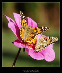 Pair of Painted Ladies (Ben&Me) Tags: two flower butterfly paintedladies distelfalter diamondclassphotographer flickrdiamond