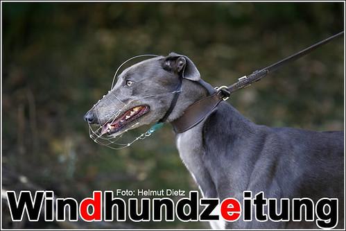Greyhound Seanis Alfie, NL
