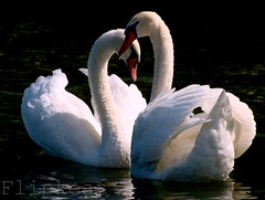 Just The Two Of Us (flipkeat) Tags: two love nature water beautiful closeup port outdoors swan heart wildlife awesome valentine swans credit valentines waterfowl mississauga mute cisne avian biglove displaying whiteswan cygnus olor hckerschwan abd cygnetubercul cisnevulgar dsch50 thewonderfulworldofbirds slbcourtshipdisplay slbmating