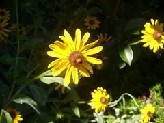 S7001870 (swallothemoon) Tags: flowers sunlight yellow blackeyedsusan