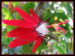 Close-up of Passiflora miniata Vanderplank (P. coccinea hort.) (jayjayc) Tags: red plant flower green vine malaysia kualalumpur redgranadilla jayjayc passifloraminiatavanderplank passifloracoccineahort scarletredpassionflower rimbailmubotanicgardenforestofknowledge
