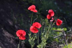 Mak (peter++) Tags: flowers flower serbia srbija cvet roa roe nonature noccolors nofreenature
