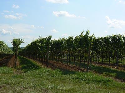 vignes alsaciennes.jpg