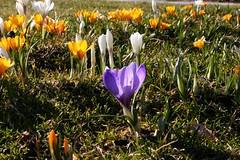 IMG_9555 (ThePaintedCow) Tags: blumen blomster krokus kristiansand