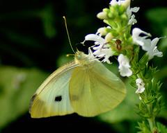 _DSC5341 (pnther60) Tags: backyard roanoke floraandfauna