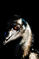 Emu, Taronga Zoo