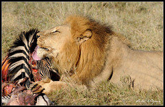 Okavango Lion (Petri_) Tags: africa kill feeding lion zebra botswana predator carnivore okavangodelta nikond300 flickrbigcats