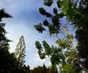 Save the trees (Zaqqy J.) Tags: trees sky texture araucariaexcelsa simple everywhere bllue savebeautifulearth