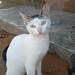 Somali cat 1