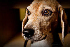 Indy (StafbulCZ) Tags: portrait dog pet pets reflection eye beagle dogs animal umbrella indy gettyimages tamron1750 specialpicture canoneos40d stafbulcz jaroslavvondracek